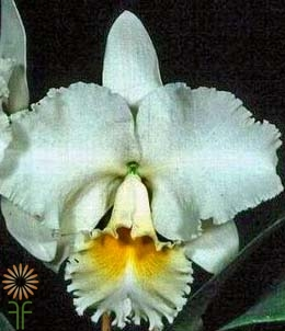 wholesale flowers | orchid- cattleya white