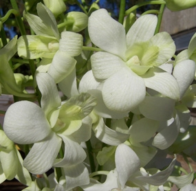 wholesale flowers | orchid- dendrobium white