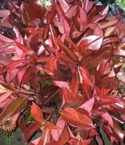 Red Photinia, Tall