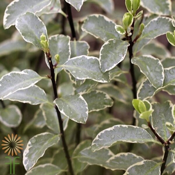 wholesale flowers | pittosporum- silver queen