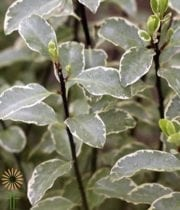 Silver Queen Pittosporum