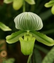 Orchid, Lady Slipper-green/white