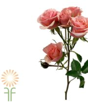 Peach Ilse Spray Roses