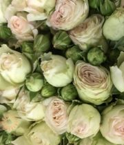Blush Pearl Gem Garden Spray Roses