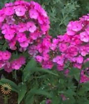 Wholesale Flowers | Phlox- Hot Pink