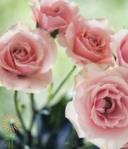 Pink Majolika Spray Roses