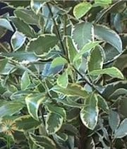 Pittosporum, Italian-variegated