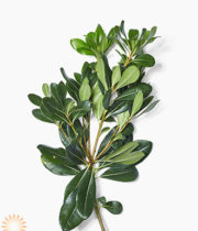 Green Pittosporum
