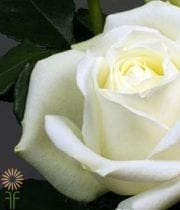 Rose, S.A.-Polo 50CM-white