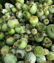Green Poppy Pods