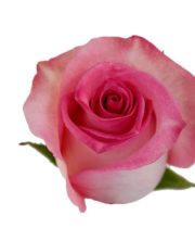 Light Pink Priceless Roses