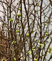 White Flowering Quince Branches