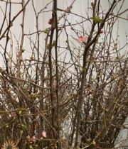 Pink Flowering Quince Branch, Large