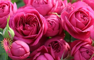 wholesale flowers | rose topaz