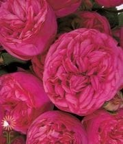 Pink Piano Garden Roses