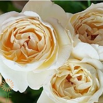 wholesale flowers | garden rose  caramel piaget