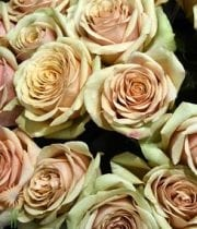 Rose, S.A.-Golden Mustard 50CM-gold/pink