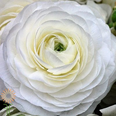 wholesale flowers | ranunculus tecate white