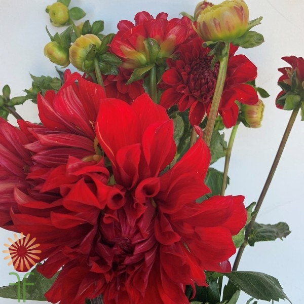 Red Field Dahlias
