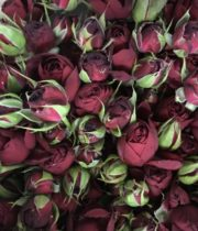 Red Lace Garden Spray Roses