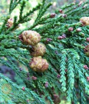 Redwood Foliage W/Cones