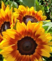 Yellow And Red Ring Of Fire Sunflowers