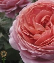 Rose, Garden S.A.-Romantic Antike-pink