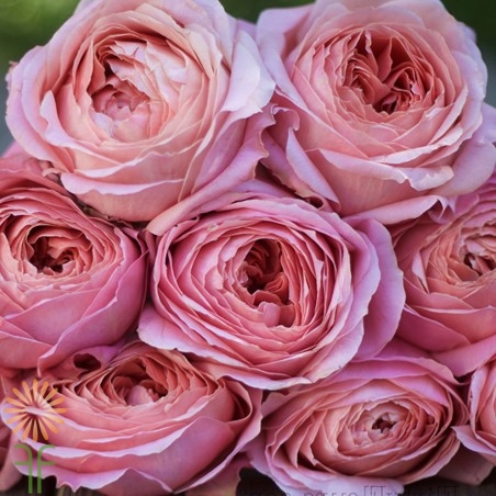 wholesale flowers | garden rose  romantic antike