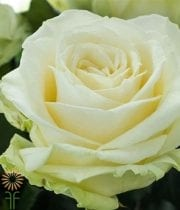 White Avalanche 60cm Rose