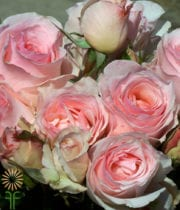 Rose, Garden-light Pink