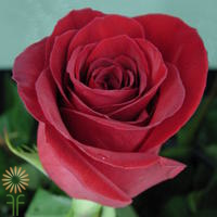wholesale flowers | rose freedom