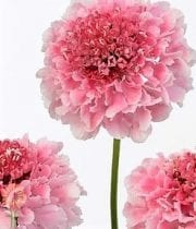 Scabiosa-pink
