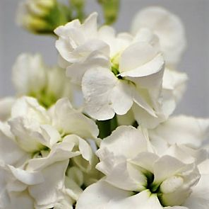 wholesale flowers | stock white
