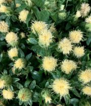 White Safflower