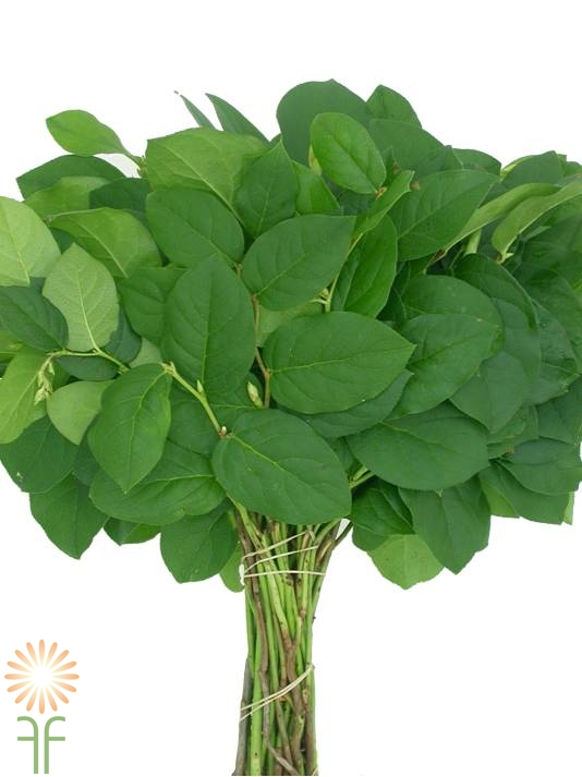buy-lemon-leaf-salal-tips-online-wholesale