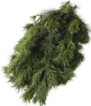 Greens, Shore Pine 25lb Case