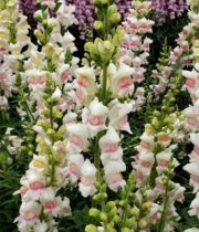 White And Pink Snapdragons