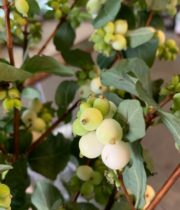 White Snowberry