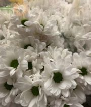 White Micro Daisy Spray Mums