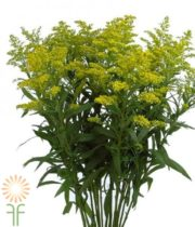 Yellow Solidago Asters