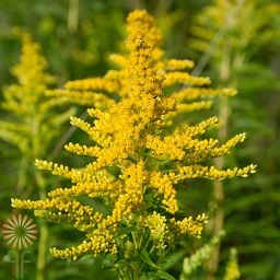 wholesale goldenrod