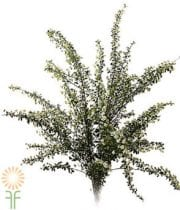 Spirea, Snowmound-white