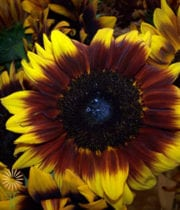 Sunflowers, Ring Of Fire-yellow/red