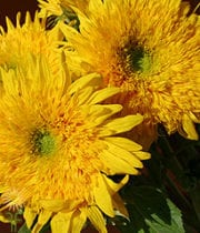Yellow Teddy Bear Sunflowers