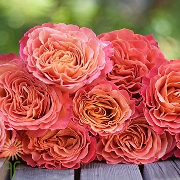 wholesale flowers | garden rose sunset