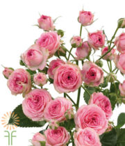 Pink Super Sensation Spray Roses