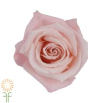 Light Pink Sweet Escimo Roses