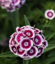 Purple And White Sweet William