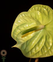 Green Anthurium, Large