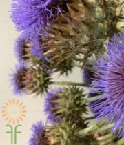 Artichoke, Large-blue Stem